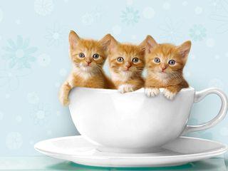 Teacup_Kittens