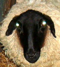 Sheep-eyes