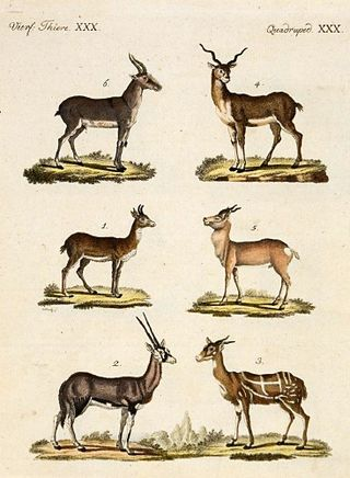 Antelopes_and_Gazelles_-_Bertuch