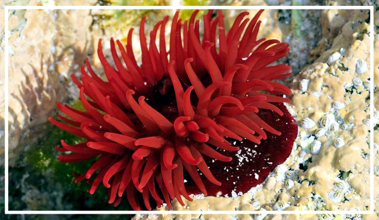 Sea anemone in puce