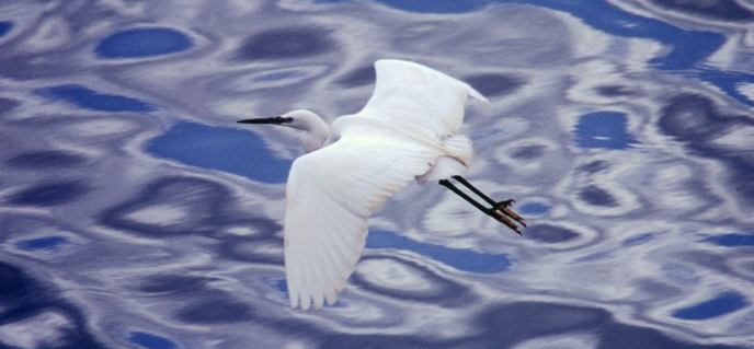 Egret, via Wellcome Images